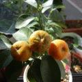 シークヮーサーの市販接ぎ木苗の鉢植え栽培
