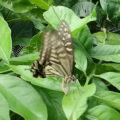 産卵のために飛来するナミアゲハと産みつけられた卵と幼虫