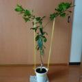 枝の誘引で見られたレモンの葉っぱの向日性