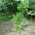 ベランダと畑で栽培しているシークヮーサーの苗木に付く害虫の違いについて