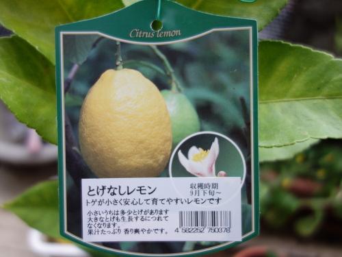 とげなしレモンの苗木