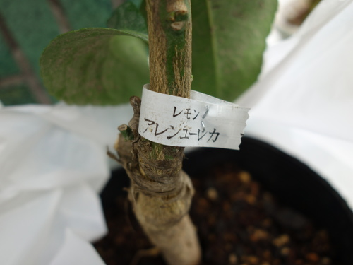 アレンユーレカの苗木