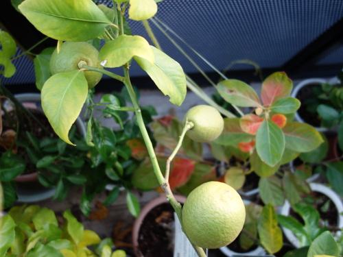 リスボンレモンの苗木