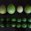 リスボンレモンの鉢植え接ぎ木苗の開花と結実と収穫